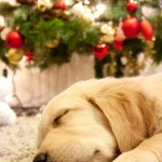 Christmas Gdn Rtr puppy sleeping