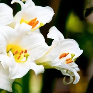 All types of lilies can cause kidney damage in CATS regardless of dose or part of plant! Beware!
