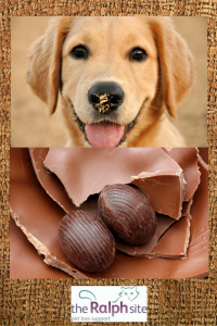 Chocolate is poisonous to pets and dogs are especially keen on it!