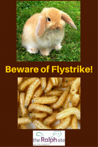 Flystrike can be fatal for bunnies - beware!